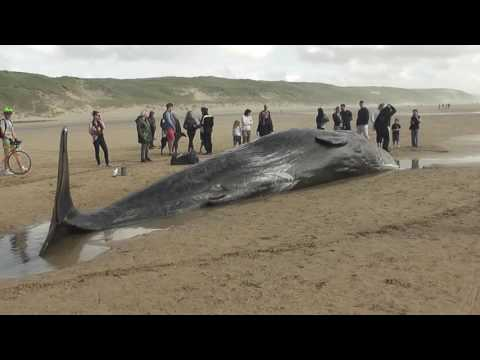 Sperm Whale stranded on Perranporth Beach