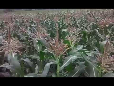 Выращивание ранней сладкой кукурузы дома. Ч.3.