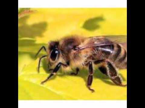bagaimana cara lebah membuat madu?ini jawabannya - YouTube