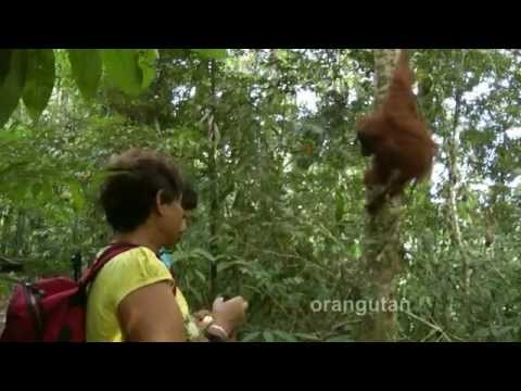 INDONESIA: Orangutan Gunung Leuser, Bukit Lawang, Sumatra (HD-video).mp4