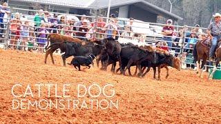 Cattle Dog Demonstration   Border Collie   Herding Dog