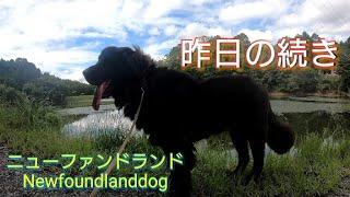 超大型犬ニューファンドランドのBOSS君 昨日の続きです(^^) イイネ    ...