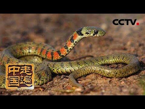 《走遍中国》 20181112 与蛇谋毒| CCTV中文国际