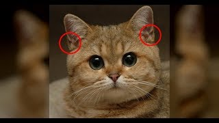 Вот Для Чего Эти Кармашки На Ушах У Кошки! Вы сильно удивитесь...