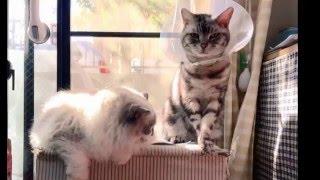 その後の猫の真菌症~ハゲが広がったにゃ thumbnail