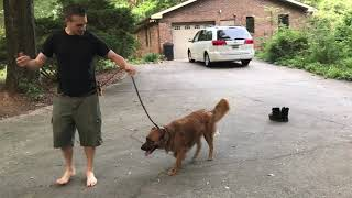 Your prong collar isn't working dog still pulling? | How to stop leash pulling TODAY.