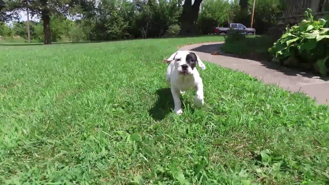 Female Olde English Bulldogge Puppy Youtube