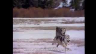 Lonepsi - Le Loup des Steppes