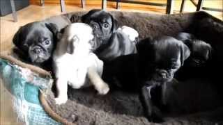 Pug Puppies For Sale Feb 1,2014 Veto Height's Ohio Akc Pug's