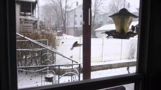 Moment of Peace - Song Sparrows Feeding during Snowfall, 2015