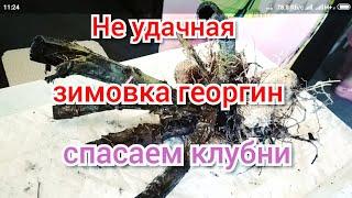видео Вредители георгин