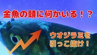 【金魚】ショッキング!寄生虫がくっついてた!【アクアリウム】 thumbnail