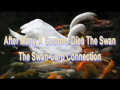 The Swan-Carp Connection. The Search for Longevity.