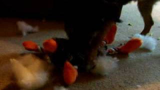 Clover The Border Terrier Destroys A Toy