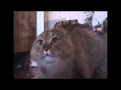 Поющий кот в мире