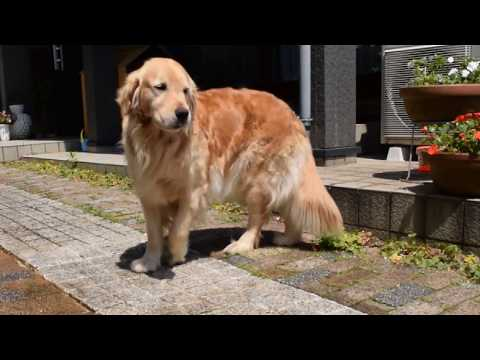 [Full]The golden retriever Alia in the morning 2017.5.21