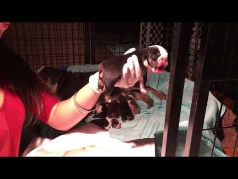 How To Relieve Whinny Bloated Puppy ; Bloated Puppy; Constipated Puppy; Bulldog Puppies