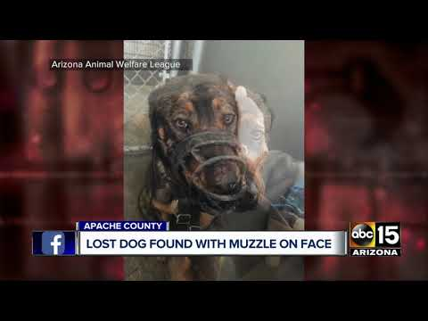 Lost dog found with muzzle on face