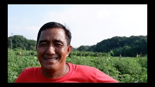 How to Grow High yielding Tomato in Urdaneta City, Pangasinan by Jorge Delos Reyes.