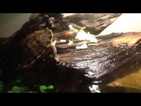 Training my turtle to eat on land