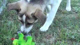 Faith, German Shepherd/beagle Mix *adopted*