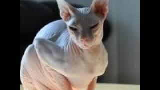 все породы котов