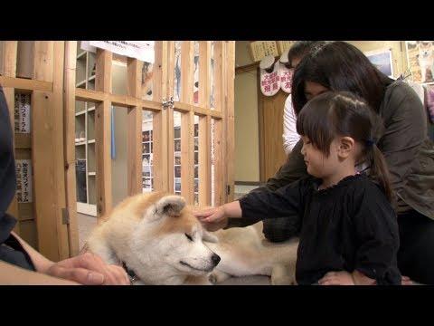 El Perro Más Fiel De Japón El Akita Inu