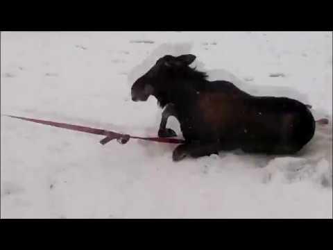 видео: В Тверской области спасатели вытаскивали из Волги провалившихся под лед лосей