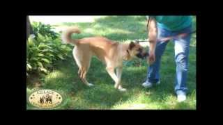 Village Critter Outfitter Dog Training How To Use The Gentle Leader