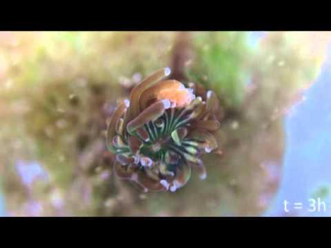 Galaxea fascicularis - external zooplankton feeding.m2v