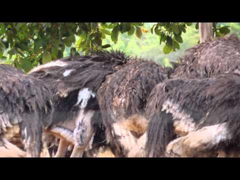 Ostrich - Common Ostrich - Struthio camelus - African Birding
