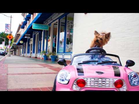 Little Wonder Yorkie Dog Drives and Crashes Mini Cooper Car - Chloe Polka Dot ' Funny Dog Video '