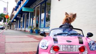 "Little Wonder Yorkie Dog Drives And Crashes Mini Cooper Car - Chloe Polka Dot "" Funny Dog Video """