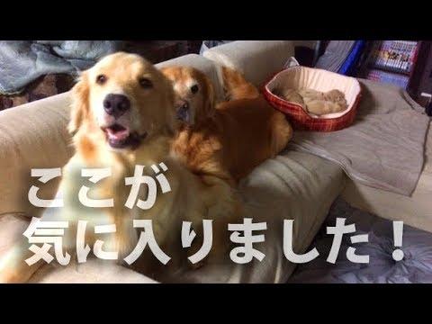 犬たちにソファあげました。ご自由にどうぞ汚してください。
