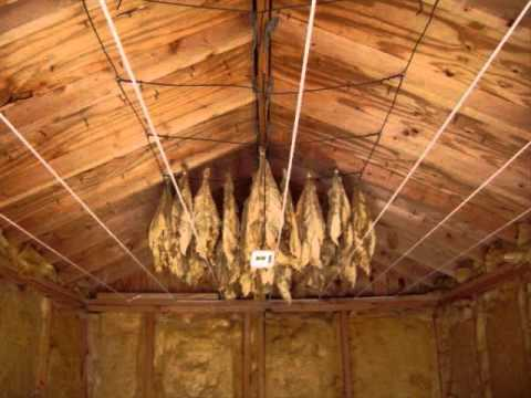 Harvesting, Hanging, and Curing you own Organic Tobacco!