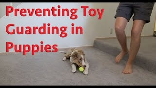 Preventing Toy Guarding In Puppies - Dog Training