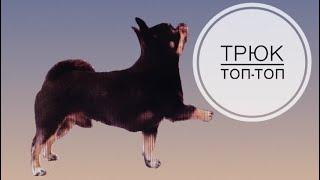 Учим собаку трюку «Топ-Топ»