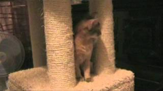 Агата - сомалийский котенок