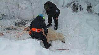 Полярные медведи стали чаще погибать из-за встречи с людьми (новости)