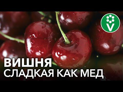Вопрос: Какой самый вкусный сорт вишни для средней полосы России?