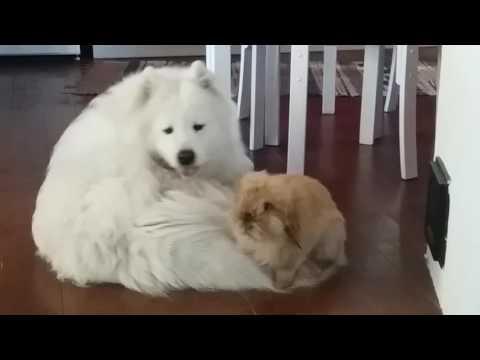 サモエド 犬