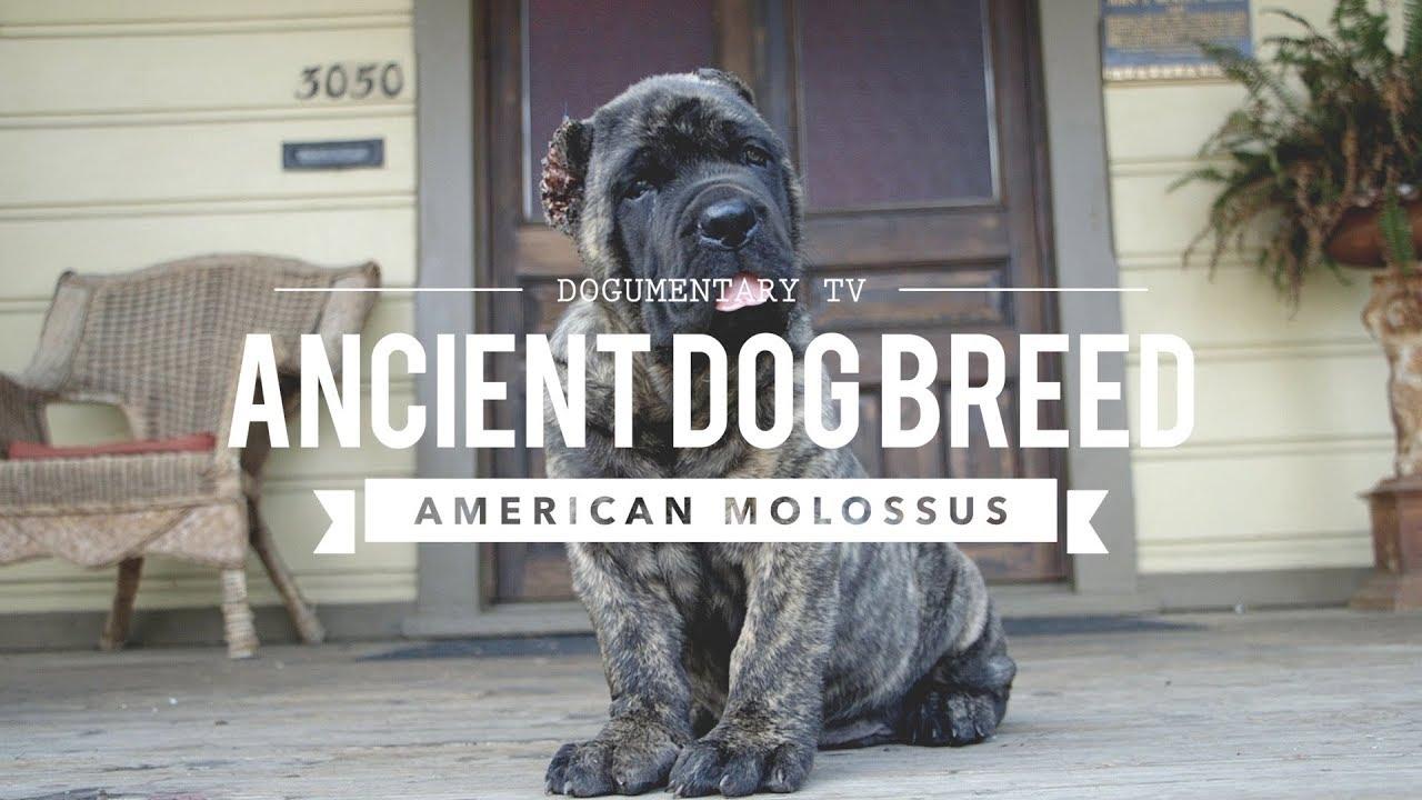 Roman Dog Breeds