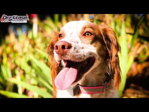 "2 Year Old Brittany Spaniels ""Blur"" Before/After Video 
