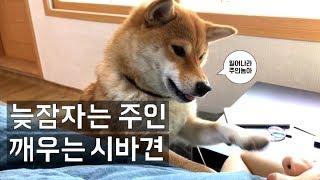 시바견_곰탱이_늦잠자는 주인 깨우는 시바견 (shibainu, 柴犬)