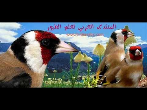 chant chardonneret mp3 souk ahras