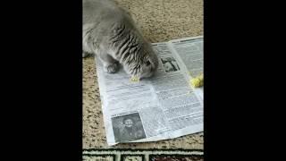 Отучить от корма кота смотри шотландский вислоухий котенок кушает заменитель корма альтернатива корм
