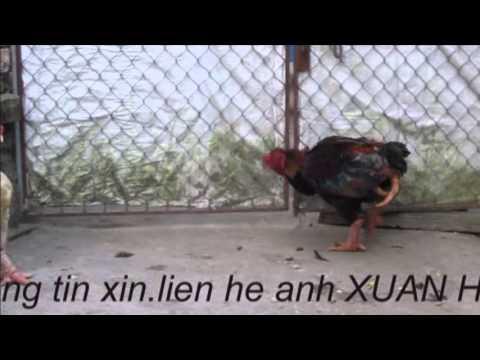 GA DONG TAO 4 CHAN - CHUYEN LA VIET NAM