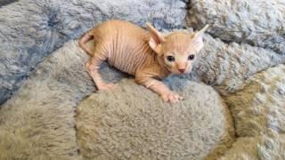 Sphynx Kitten 1 month old