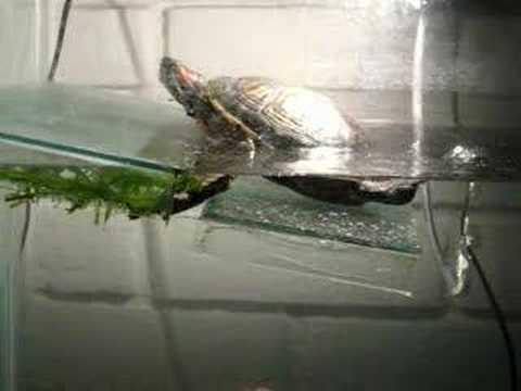 Nuevo acuario tortuga orejas rojas youtube for Acuario tortugas