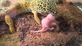 Leopard Gecko Feeding on Pinkies